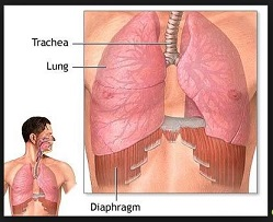 Lungs-diaphragm